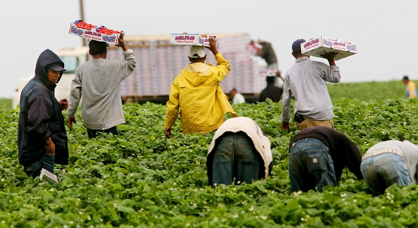 Immigrant Laborers Harvest California's Produce